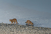 Puma cubs (Felis concolor patagonica) 7 months old<br /> Lago Sarmiento<br /> Torres del Paine National Park<br /> Patagonia<br /> Magellanic region of Southern Chile