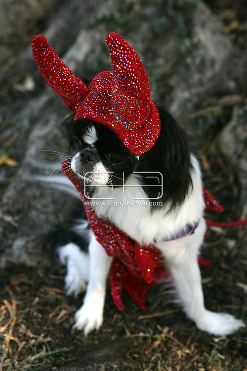 26th October 2008, West Hollywood, California. The annual West Hollywood Doggy Costume Contest, saw dog owners dressing their four-legged friends in costumes for Halloween Pictured is:  Ruby the Japanese Chin dressed in a devil outfit. PHOTO © JOHN CHAPPLE / REBEL IMAGES.john@chapple.biz    www.chapple.biz.(001) 310 570 9100.