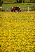 Horses graze in pasture covered in buttercup