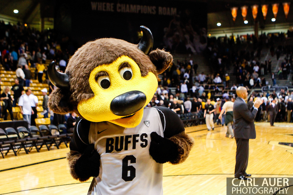 November 13th, 2013:  Chip the Buffalo celebrates a  63-58 win over non-conference rival Wyoming at the conclusion of the NCAA Basketball game between the University of Wyoming Cowboys and the University of Colorado Buffaloes at the Coors Events Center in Boulder, Colorado