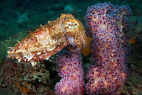 Broadclub Cuttlefish and Soft Coral<br /> <br /> Shot in Indonesia