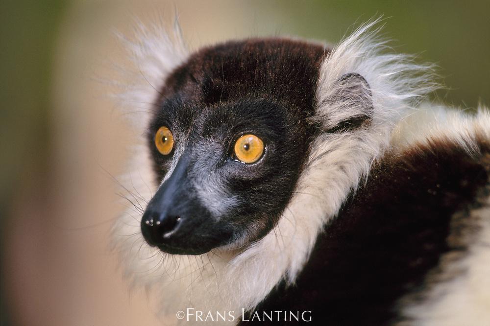Black-and-white ruffed lemur, Varecia variegata variegata, Madagascar