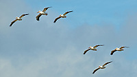 Six White Pelicans in Flight. Merritt Island National Wildlife Refuge. Image taken with a Nikon D3x camera and 500 mm f/4 VR lens (ISO 280, 500 mm, f/8, 1/1000 sec).