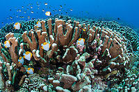 Pyramid Butterflyfishes and Healthy Hard Corals<br /> <br /> Shot in Indonesia