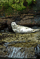 I photographed these grey and common seals just off the coast of Noss Island and the capital of Lerwick in the Shetland Islands of Scotland during a boat tour. July 2009.