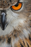 Photographer: Kyle Reynolds. Bird Species: Eurasian Eagle Owl. Location: NY. Date Taken: 5/16/09