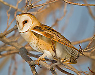 Barn owl hunting from a perch during the day in rare winter conditions when prey is inactive at night, active under snow during the day. © 2013 David A. Ponton