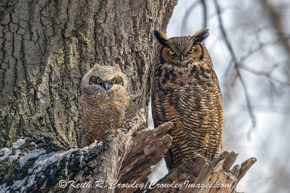 Female Great horned owl (Bubo virginianus) and chick at nest site.