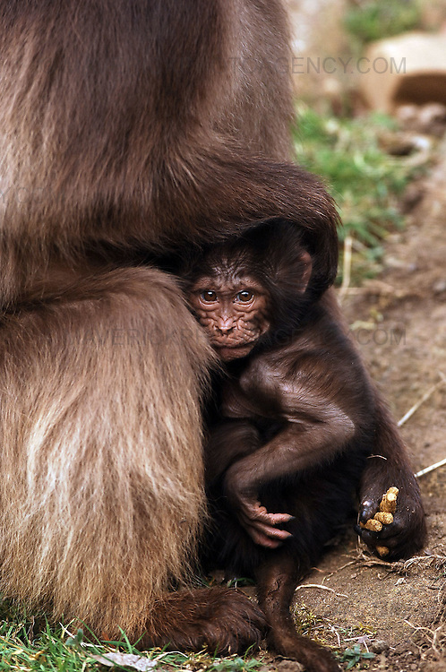 Edinburgh Zoo has welcomed the first of its spring arrivals in the form of three baby gelada baboons. The new additions, which are the first gelada babies to born at the Zoo, have been named Chandu, Chibale and Chiku...Pic shows one of the baby baboons with its mother at Edinburgh Zoo.