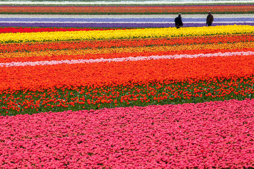 While beautiful, most tulips fields are harvested not for their flowers, but for their bulbs.