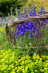 Delphinium 'Black Knight' supported by woven twigs in the cutting garden