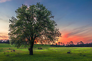 Blossom tree in the middle of a meadow at sunset