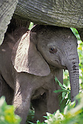 African Elephant <br /> Loxodonta africana<br /> A two day old male elephant is kept safe underneath his mother. He will spend the majority of his first few weeks underneath the body of his mother and other females.<br /> Ngorongoro Conservation Area, Tanzania