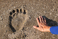Paw print of an Alaskan brown bear, Ursus arctos horribilis, on the shore, with human hand adjacent for scale. Geographic Harbor, Katmai National Park, Alaska.
