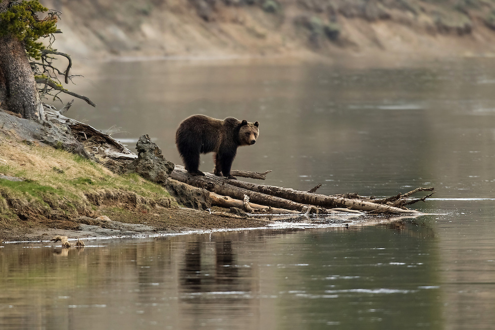 A young grizzly pauses along the shore of the Yellowstone River, casting his reflection in the slow moving water below.