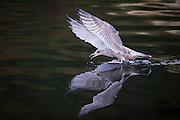 Mirrored Seagull | Speilende måke