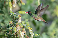 Endemic Xantus's hummingbird, Basilinna xantusii feeding on a velcro plant on Isla San Jose in Baja California, Mexico.