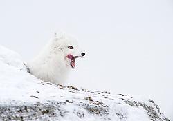 Arctic fox (Alopex lagopus) in winter, near Longyearbyen, Svalbard, Norway