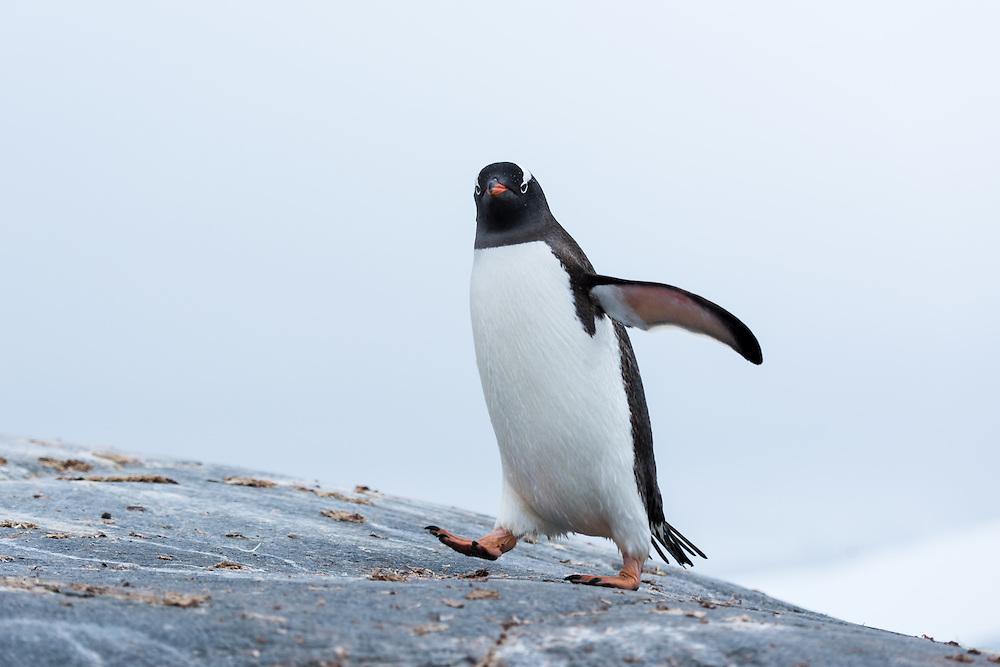 Eselspinguin, Antarktis