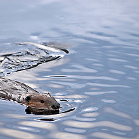 A common beaver drifts through the waters.