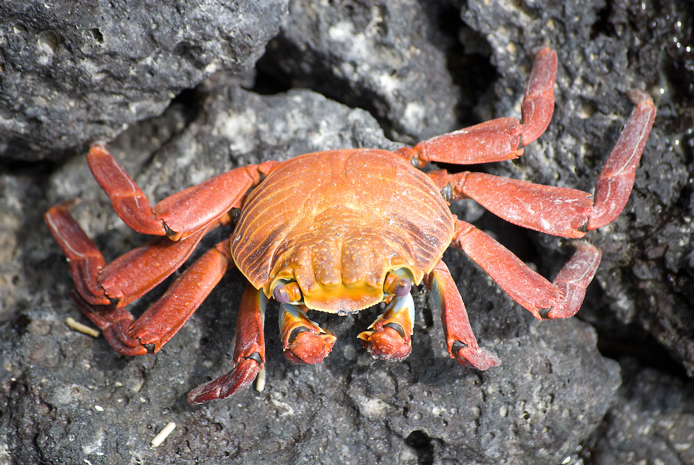 Red-rock crab. Galapagos, Ecuador. (Grapsus grapsus)