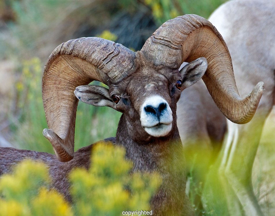 We nicknamed this Desert Bighorn Ram, Scarface in 2006 after we meet him the first time.  He was the patriarch over 4 herds of Desert Bighorn sheep on Zion's East Mesa