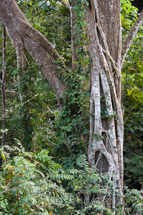 Tree with a Strangler Fig growing around it, Kaeng Krachan National Park, Thailand