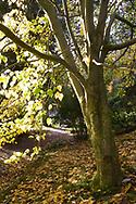 Acer davidii (Pere David's Maple).