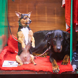 © Licensed to London News Pictures. 08/03/2018. Birmingham, UK.  Crufts dog show in the NEC. In this picture: Mistral (left),  a cross between an American Terrier and a Chihuahua, sits next to Miss Scarlet Du Regard Mordant To Tallowah, a Beauceron.  Photo credit: Cliff Hide/LNP