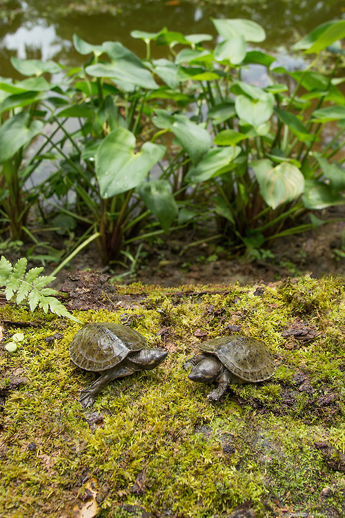 Two of only nine known captive born and critically endangered Central American river turtles ( Dermatemys mawii ) or Hickatee investigate their surroundings in the Bladen Nature Reserve, Belize.