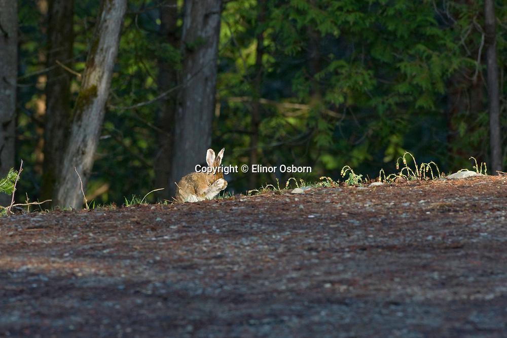 Snowshoe hare grooming