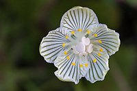 A Kidney-Leaved Grass of Parnassus along the Blue Ridge Parkway in Western North Carolina.  The Appalachian Grass of Parnassus has white petals with green venation and blooms late summer to early autumn.