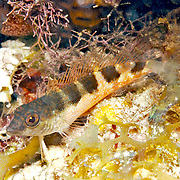 Saddle Blenny inhabit reefs, perch on bottom in Tropical West Atlantic; picture taken Key Largo, FL.
