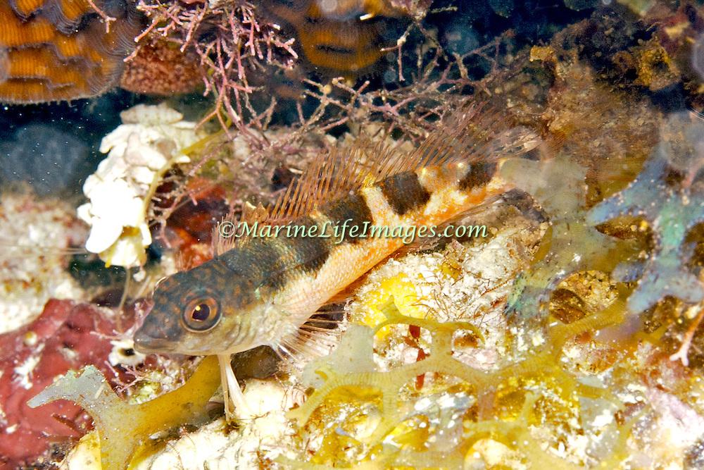 Saddle Blenny inhabit reefs, perch on bottom in Tropical West Atlantic; picture taken Key Largo, FL.