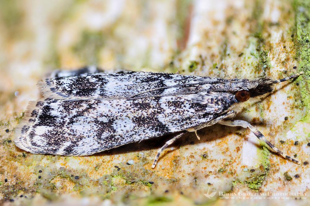 Norway, Stavanger. Noctuidae or owlet moth. Focus stacked.
