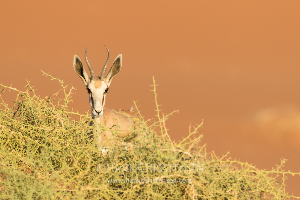 A springbok peaks up over desert bushes, Namib-Naukluft National Park, Namibia.