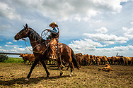 Rancher, cartoonist, Wally Badgett, horse Egor, ropes and drags calves to fire, Joe Peila ropes, cattle branding, Lazy TL Ranch, north of Miles City, Montana