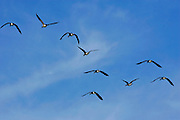 Geese flying over Washington DC, USA. Wild birds are at risk if avian flu bird flu virus spreads.