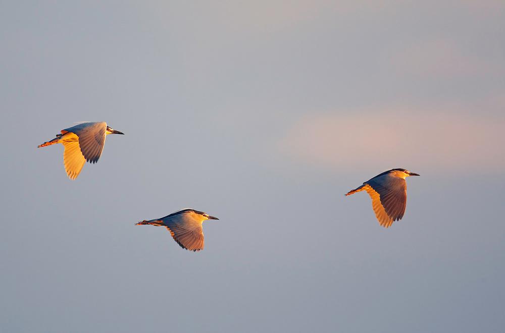 Night Heron (Nyctocorax nycticorax) Pusztaszer Nature Reserve, Hungary
