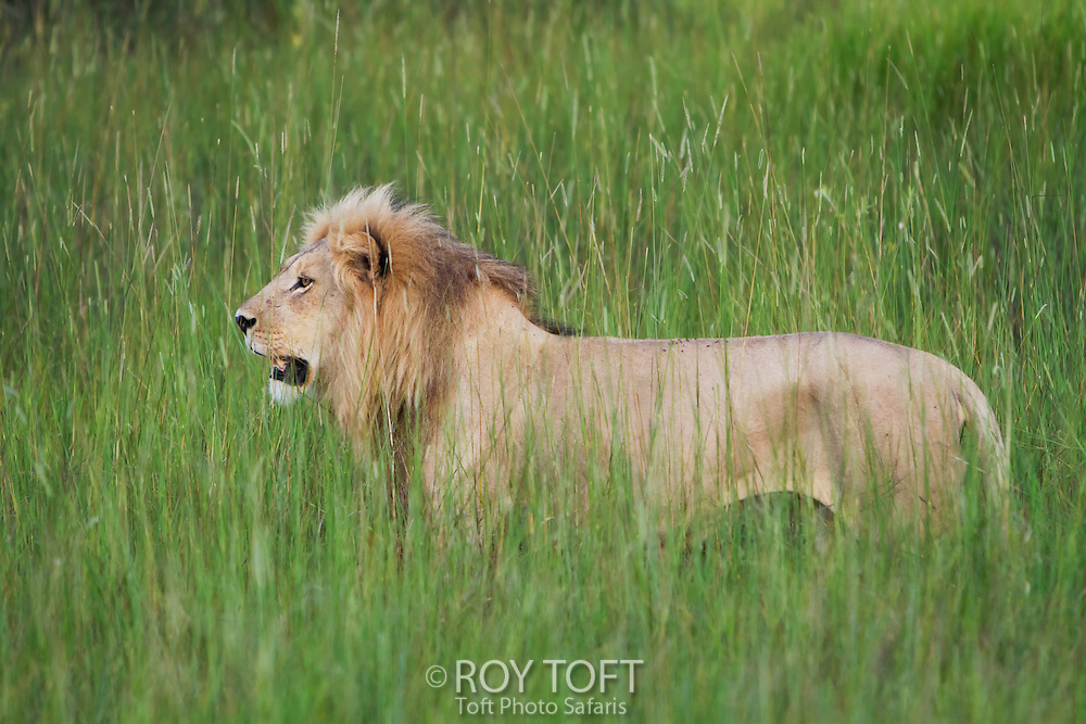An African lion stands in the tall grass, Botswana, Africa