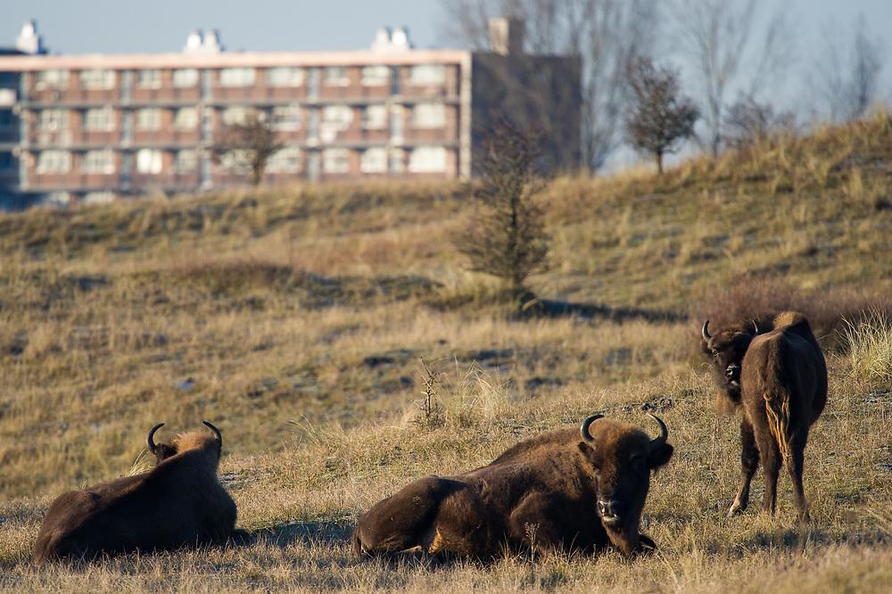 Three European bison (Bison bonasus) resting in the dunes with the city of Zandvoort in the background