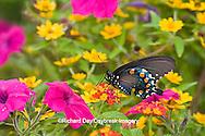03004-00914 Pipevine Swallowtail (Battus philenor) on Red Spread Lantana (Lantana camara) in butterfly garden, Marion Co.  IL