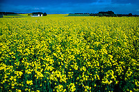 Field of rapeseed on the island of Sjaelland, Denmark
