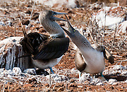 "Blue-footed Booby (Sula nebouxii) parents swap nesting duty on two eggs on North Seymour Island, part of the Galápagos archipelago, a province of Ecuador 972 km offshore west of the continent of South America. A dark pigment surrounding the female's eye pupil makes it look larger than the male's. .The Sulidae family comprises ten species of long-winged seabirds. The name ""booby"" comes from the Spanish term bobo, which means ""stupid"" or ""fool/clown,"" which describes its clumsy nature on land. Like other seabirds, they can be very tame. Blue-footed Boobies breed in tropical and subtropical islands of the Pacific Ocean."