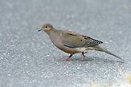 Mourning Dove - Zenaida macroura - 1st winter