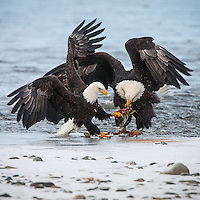 A pair of bald eagles (Haliaeetus leucocephalus), fighting  over a piece of salmon on the edge of the river.