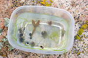 Hermit crabs, periwinkles, and seaweed collected on a marine biology field trip in Acadia National Park, Maine.