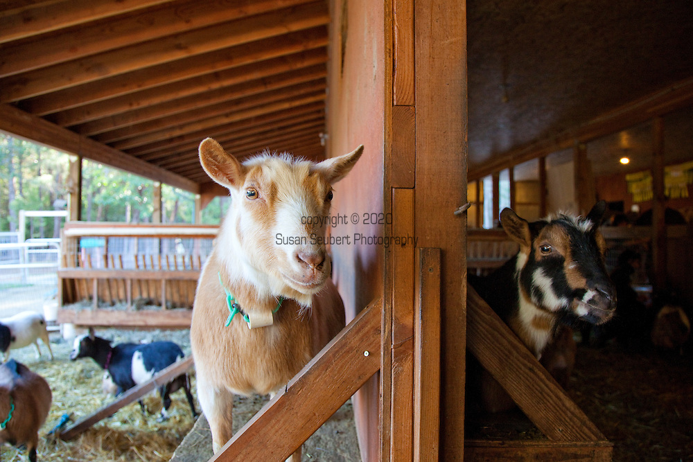 Afternoon with the Nigerian Dwarf Goats in the barn.