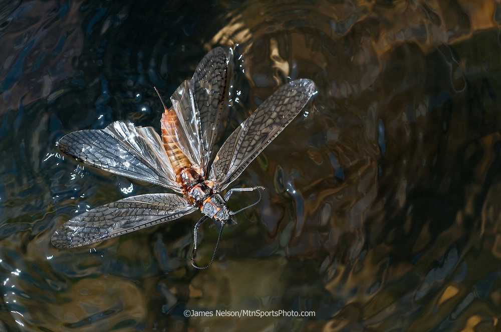 A salmon fly (Pteronarcys californica) flutters on the surface of Henry's (North) Fork of the Snake River, Idaho.