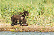 Brown bear (Ursus arctos) cubs eating salmon scraps from its mother along Geographic Creek at Geographic Harbor in Katmai National Park in Southwestern Alaska. Summer. Afternoon.